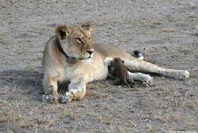 タンザニアで、ヒョウの子どもに授乳するライオン。(PHOTOGRAPH BY JOOP VAN DER LINDE, NDUTU LODGE)