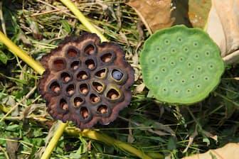熟したハスの花床と熟していないハスの花床。トライポフォビアのコミュニティーでは、ハスの画像がよく共有されている。(PHOTOGRAPH BY GEORGE GRALL, NATIONAL GEOGRAPHIC CREATIVE)