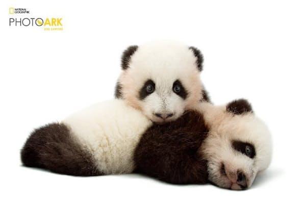 危急種のジャイアントパンダ。米国アトランタ動物園で撮影。中国政府の調査によると、野生のパンダは2013年末時点でわずか1864頭だった(JOEL SARTORE/NATIONAL GEOGRAPHIC PHOTO ARK)