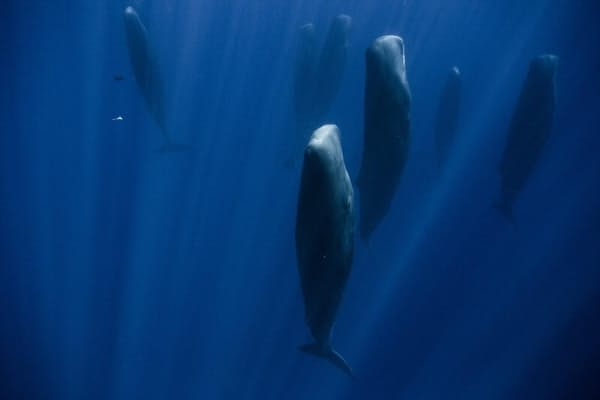 インド洋の水深15メートルで眠る、マッコウクジラの群れ。その数は30頭超。立った状態で、何分もあるいは何時間も動かない。すべてメスで、子どもたちは親が寝ている間、水面で過ごす。(Photograph by Stephane Granzotto)