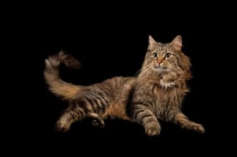 飼い猫(写真のネコの名前は「ロケット」)は、飼い主の反応を引き出すために、遊びに誘う行動を繰り返し行う傾向がある。(PHOTOGRAPH BY JOEL SARTORE)
