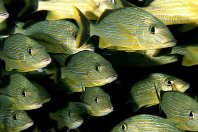 群れで泳ぐタイセイヨウイサキの仲間(Haemulon sciurus)。(PHOTOGRAPH BY BRIAN J. SKERRY, NATIONAL GEOGRAPHIC CREATIVE)