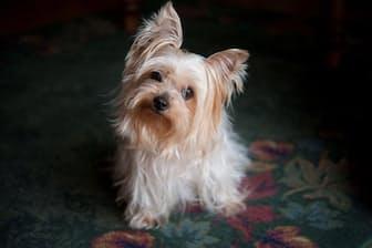 「科学者にとっては、動物が感情を持つという概念は受け入れにくいものです」と米エモリー大学の神経科学者グレゴリー・バーンズ氏は言う。「イヌと暮らしている人の大半は、これを直感的に理解しています」(PHOTOGRAPH BY JOEL SARTORE, NATIONAL GEOGRAPHIC CREATIVE)