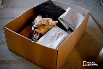 2010年に米国人ハンターが仕留めたライオンの毛皮と頭部。南アフリカで防腐処置を施され、ハンターへと送られるところだ。その後、米政府はライオンの毛皮などの国内持ち込みを制限した。(David Chancellor /National Geographic)