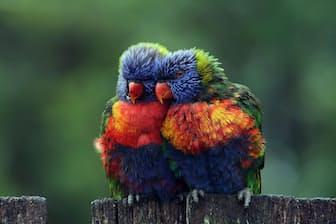 ゴシキセイガイインコ(Photograph by Lesley Smitheringale, National Geographic Your Shot)
