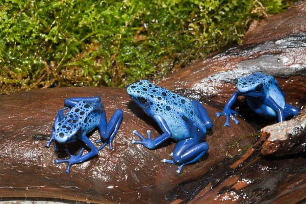 スリナム共和国のコバルトヤドクガエル(Dendrobates tinctorius azureus)。(PHOTOGRAPH BY REINHARD DIRSCHERL, ULLSTEIN BILD, GETTY IMAGES)