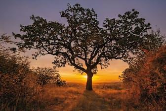 米国オレゴン州の州都セイラムにある樹齢250年のオレゴンナラ。ブドウ園を見守る「証拠の木」だ(Photograph by Diane Cook and Len Jenshel)