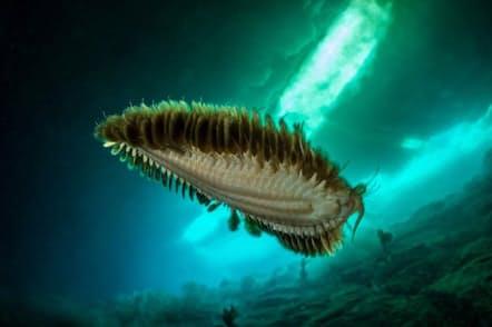 南極の冷たい海の下には、多様な海生無脊椎動物も生息している。(PHOTOGRAPH BY LAURENT BALLESTA)