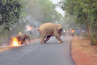 タールを使用した火の玉を群衆から投げつけられたアジアゾウの親子。インドの西ベンガル州で。(PHOTOGRAPH BY BIPLAB HAZRA, SANCTUARY NATURE FOUNDATION)