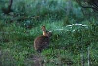 オーストラリアで爆発的に繁殖したアナウサギ(Liz Poon, CSIRO)