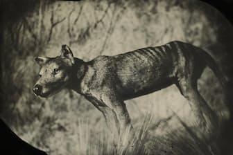 タスマニアタイガーとも呼ばれるフクロオオカミ。1930年代に飼育下最後の1頭が死に、1980年代に絶滅宣言された。(TAXIDERMIC SPECIMEN, AMERICAN MUSEUM OF NATURAL HISTORY, NEW YORK)