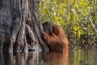 こちらを見つめるオランウータン。米国ナショナル ジオグラフィックの写真賞「ネイチャー・フォトグラファー・オブ・ザ・イヤー」のグランプリを受賞した。(Photographs by Jayaprakash Joghee Bojan)