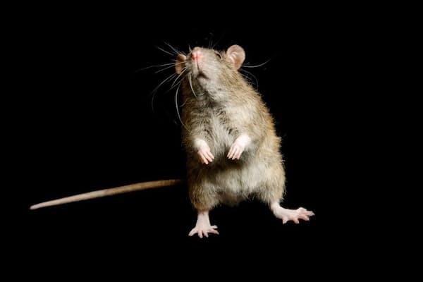 ジョージ・M・サットン鳥類研究センターのクマネズミ(Rattus rattus)。(PHOTOGRAPH BY JOEL SARTORE, NATIONAL GEOGRAPHIC PHOTO ARK)