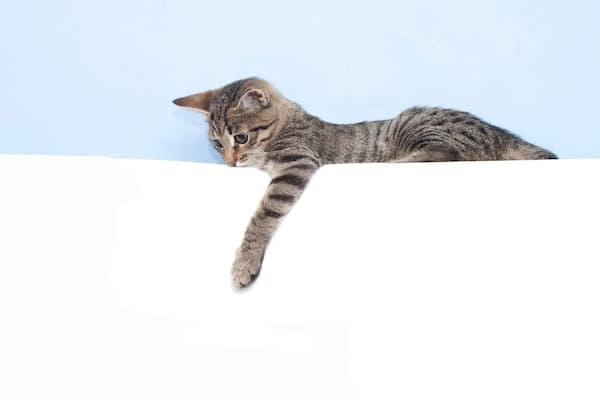 人間と同じく飼いネコにも利き手があり、右利きか左利きかは性別と大きな関わりを持つ(PHOTOGRAPH BY QUEEN'S UNIVERSITY BELFAST)