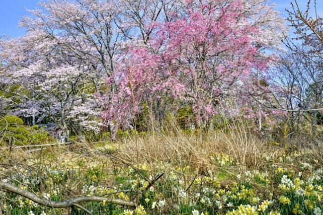 福島県富岡町の宝泉寺の庭。2014年は桜が満開だった(土田ヒロミ「フクシマ」より)