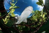 レモンザメは、最初の2~7年を安全なマングローブの森の近くで過ごす。メスのサメは、出産のために同じ場所に戻ってくるので、マングローブの入り江は一つひとつがとても重要だ(PHOTOGRAPH BY SHANE GROSS, NATIONAL GEOGRAPHIC YOUR SHOT)