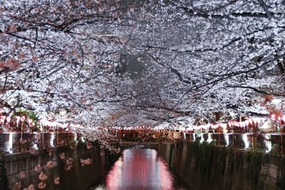 満開となった目黒川の桜(24日、東京都目黒区)