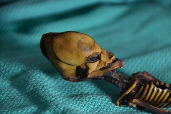 体長15センチのミイラ「アタ」は、チリのアタカマ砂漠で発見された(PHOTOGRAPH BY EMERY SMITH)
