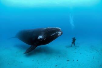 ニュージーランドのオークランド諸島沖で、ダイバーに近寄ってくるミナミセミクジラ(PHOTOGRAPH BY BRIAN J. SKERRY, NATIONAL GEOGRAPHIC CREATIVE)