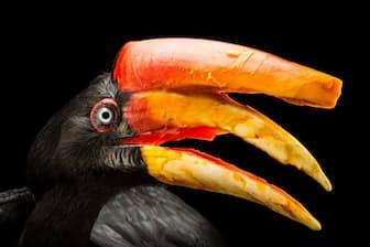 サイチョウ。 この印象的な鳥は、「カスク」と呼ばれる頭部の構造物で鳴き声を増幅させる。写真は米国シンシナティ動物園のメス(Photograph by Joel Sartore, National Geographic Photo Ark)