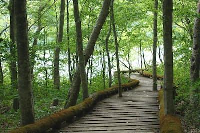 蔦温泉旅館から蔦沼へと続く森の中の遊歩道