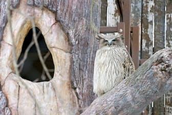 北海道に生息するシマフクロウは世界最大級のフクロウ。樹洞(木の穴)ではモコ(メス)が子育て中で、ロロ(オス)はエサを運ぶ (桜井省司撮影、提供:株式会社LEGION)