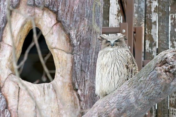 北海道に生息するシマフクロウは世界最大級のフクロウ。樹洞(木の穴)ではモコ(メス)が子育て中で、ロロ(オス)はエサを運ぶ(桜井省司撮影、提供:株式会社LEGION)