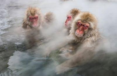 地獄谷温泉でくつろぐニホンザル(PHOTOGRAPH BY JASPER DOEST, MINDEN PICTURES/NATIONAL GEOGRAPHIC CREATIVE)