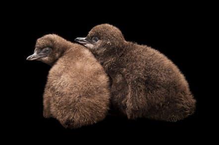 2羽のコガタペンギン(Eudyptula minor)の雛。茶色くやわらかい羽毛が生えている。コガタペンギンは夜行性で、人間が住む場所の近くに巣を作ることも多い(PHOTOGRAPH BY JOEL SARTORE, NATIONAL GEOGRAPHIC PHOTO ARK)