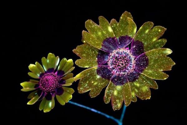 バロウズ氏が紫外線を照射して撮影したハルシャギク(PHOTOGRAPH BY CRAIG BURROWS)