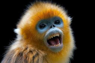 美しい毛に特徴的な顔のキンシコウは、古代中国の史官たちを魅了した(PHOTOGRAPH BY JOEL SARTORE, NATIONAL GEOGRAPHIC PHOTO ARK)