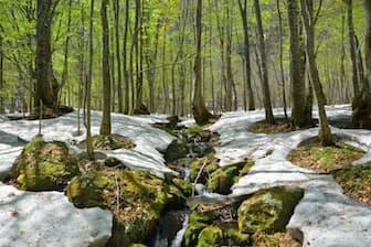 ランキング1位のブナ林の風景です。さてどこでしょう
