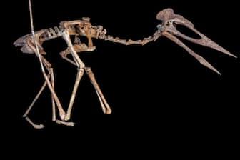 ドラキュラとあだ名された空飛ぶ爬虫類の復元骨格。同じ地域から見つかった下顎の化石が、アズダルコ科の別の巨大翼竜のものとして発表された(PHOTOGRAPH BY AART WALEN, CREATURES & FEATURES)