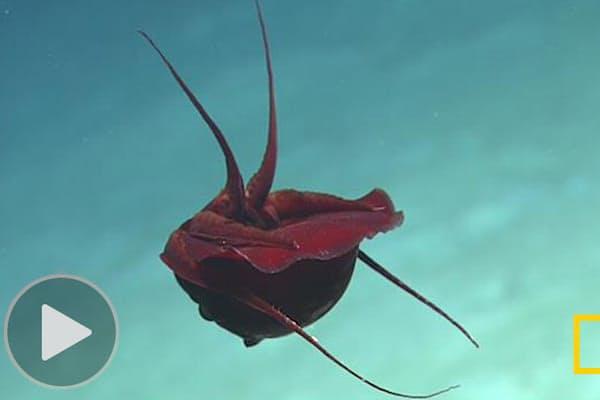 学者も「なんじゃこりゃ」 奇妙な体勢の深海生物