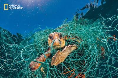 スペイン沖の地中海で、漁網が絡みついたアカウミガメ。首を伸ばして海面から頭を出し、呼吸していたが、放置すれば死んでいただろう。写真家が網を解いて助けた(PHOTOGRAPH BY JORDI CHIAS)