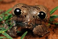 クイアバ・ドワーフ・フロッグ。お尻を膨らませ、大きな目のように見せることで、捕食者を追い払う(PHOTOGRAPH BY GEORGE GRALL, NATIONAL GEOGRAPHIC CREATIVE)