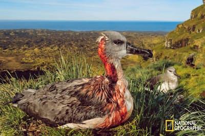 傷ついたハイガシラアホウドリのひな。南極圏に近い、南アフリカのマリオン島には、200年前に人間が持ち込んだハツカネズミがすみついている。海鳥は、新しい天敵を警戒する本能をもっていないため、かじられても抵抗せず、やがて死んでいく(PHOTOGRAPH BY THOMAS P. PESCHAK)