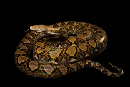 ナポリ動物園のアミメニシキヘビ(学名:Broghammerus reticulatus)(PHOTOGRAPH BY JOEL SARTORE, NATIONAL GEOGRAPHIC PHOTO ARK)