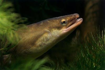 ヨーロッパウナギは絶滅の危機にさらされている。違法薬物などによる水質汚染も原因のひとつだ(PHOTOGRAPH BY WIL MEINDERTS, BUITEN-BEELD/MINDEN PICTURES/NATIONAL GEOGRAPHIC CREATIVE)