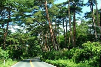 那須街道の両側に広がるアカマツ中心の天然林=那須町観光協会提供