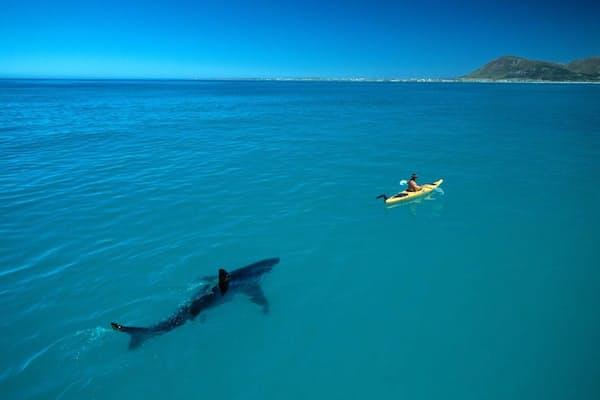 本物かどうか疑われ、のちに実際に数々の偽写真に使われるようになるホホジロザメの写真。撮影者のトム・ペシャック氏いわく、「研究者がサメを追うのではなく、サメに追われる研究者」(PHOTOGRAPH BY THOMAS P. PESCHAK)
