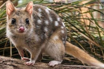 オーストラリア本土では絶滅したフクロネコは、タスマニア島で生き残った。研究者の手で、かつての生息域に戻す試みが始まっている(Photograph Courtesy Rewilding Australia)