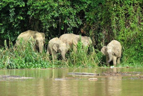 ボルネオ島に生息するボルネオゾウの群れ(坂東元撮影)