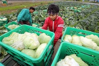 キャベツを収穫するインドネシアからの技能実習生(茨城県茨城町)