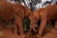 大きな体と長い寿命を持つにもかかわらず、ゾウがガンになる確率は驚くほど低い。研究者たちは、その理由を解明し、人間のガン治療に役立てたいと考えている(PHOTOGRAPH BY MICHAEL NICHOLS)