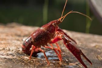 米国南東部を原産とするアメリカザリガニ(Procambarus clarkii)は、繁殖力が強く、世界中の淡水生態系を侵略してきた。米カリフォルニア州サンタモニカ山地の川もその1つだ(PHOTOGRAPH BY JUAN AUNION, ALAMY)