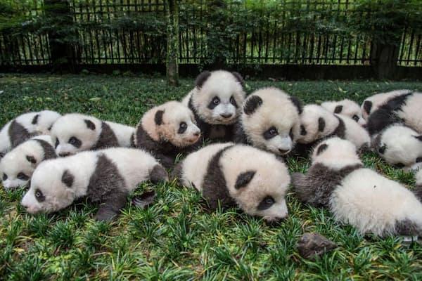たくさん生まれたジャイアントパンダの子どもたちが撮影のために並べられている。中国四川省、碧峰峡にあるパンダ繁殖センターにて(PHOTOGRAPH BY AMI VITALE, NATIONAL GEOGRAPHIC CREATIVE)