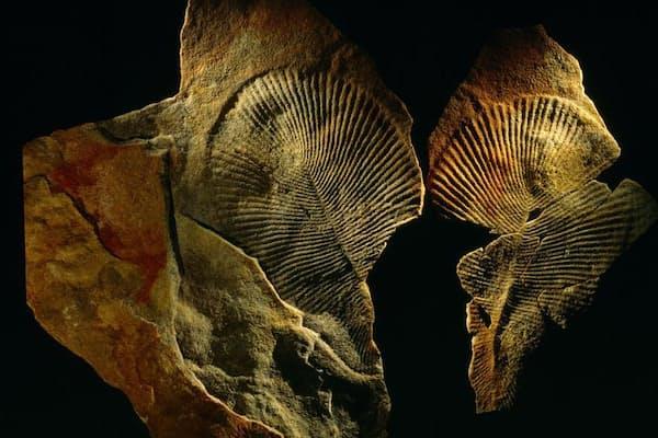謎の印象化石を残したこの生物は、動物だったのか、原生生物だったのか、それとも菌類だったのか?化学が新たな手がかりをもたらした(PHOTOGRAPHY BY O. LOUIS MAZZATENTA)