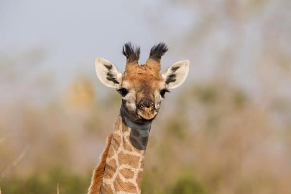 野生のマサイキリン。タンザニア北部のタランギレ国立公園にいるこれらのキリンを科学者たちが研究したところ、模様に遺伝性があるらしいことがわかった(PHOTOGRAPH BY BERTIE GREGORY, NATIONAL GEOGRAPHIC CREATIVE)