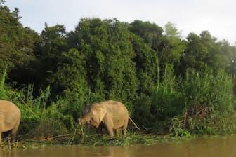 自然の中で見るボルネオゾウは美しい